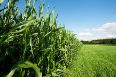 Fodder Corn Stock Photo