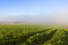 Fodder crops and mist Royalty Free Stock Photo