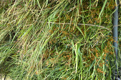 Fodder grass Stock Photo