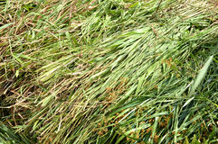 Fodder grass Royalty Free Stock Photography