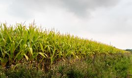 Fodder maize plants growing along a fence with barbed wire. The quality of the corn is poor because of the prolonged drought. The corn cobs have hardly grown royalty free stock photo