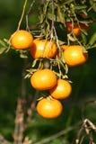 Fodele oranges. Close up of Fodele oranges on the tree. Crete. Greece Royalty Free Stock Photos
