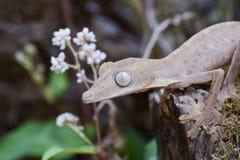 Fodrad leaftailgecko (Uroplatus), Madagaskar Arkivbild