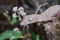 Fodrad leaftailgecko (Uroplatus), Madagaskar Arkivbilder