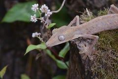 Fodrad leaftailgecko (Uroplatus), Madagaskar Arkivfoto
