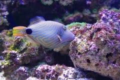 fodrad orange triggerfish Fotografering för Bildbyråer