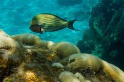 fodrad surgeonfish Arkivfoto
