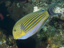 fodrad surgeonfish Royaltyfri Bild