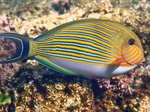 fodrad surgeonfish Royaltyfri Foto