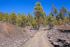 Fodrat med vulkaniska stenar som fotvandrar slingabortgång i barrskog bland stycken av lava Vägen till det mån- landskapet Teneri Arkivfoto