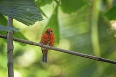 Fody rojo de Madagascar, madagascariensis de Foudia en la rama Pájaro de la sabana imagen de archivo