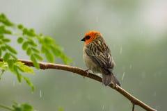 Fody rojo en encendido la rama en la lluvia Imagen de archivo libre de regalías