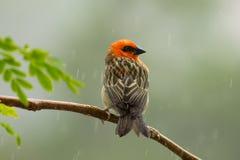 Fody rouge sur dessus la branche sous la pluie Photos libres de droits