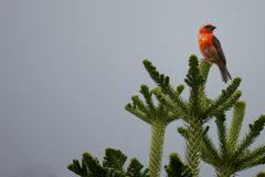 Fody on top 2. Endemic Red Fody bird of the Seychelles, sitting on top of a conifere Stock Photography
