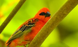Fody-Vogel auf Baum La Digue-Insel Stockbilder