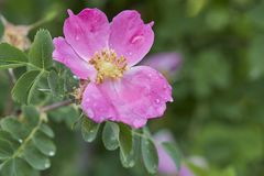 Foedita一朵桃红色花开了花 免版税图库摄影