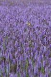 Foeniculum van Agastache van lavendel reuzehyssop stock afbeeldingen