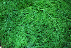 foeniculum vulgare Στοκ Εικόνες
