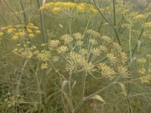 Foeniculum vulgare stock afbeelding
