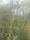 Foeniculum vulgare stock foto's