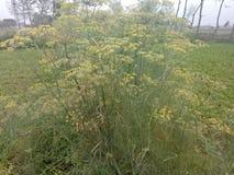 Foeniculum vulgare stock fotografie