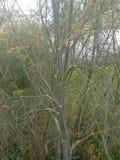 Foeniculum vulgare stock foto
