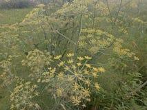 Foeniculum vulgare royalty-vrije stock foto