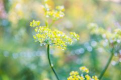 Foeniculum vulgare Mill, fennel Royalty Free Stock Image