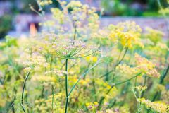Foeniculum vulgare Mill, fennel Stock Photo