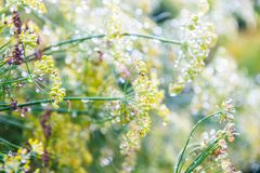 Foeniculum vulgare Mill, fennel. Foeniculum vulgare Mill commonly called fennel has been used in traditional medicine for a wide range of ailments related to royalty free stock photography
