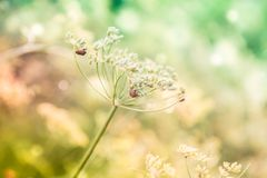 Foeniculum vulgare Mill, fennel. Foeniculum vulgare Mill commonly called fennel has been used in traditional medicine for a wide range of ailments related to royalty free stock image