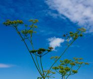 Foeniculum vulgare Mill. against a blue sky with cumulus clouds stock photos