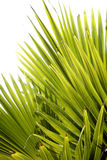 Foest Abstract. Backlit jungle palm leaves with white background Stock Photo