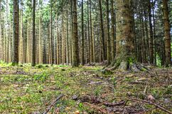 Pine forest near Malmedy. Foest with tall pine trees near Malmedy in the Belgian Ardennes Royalty Free Stock Images