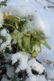 Foetidus del Helleborus Fotografía de archivo