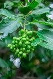 Foetus d'arbre parfumé de Manjack dans les Rois Park et Gard botanique Image stock