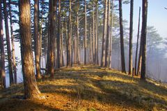 In fog. A path is in fog, pine ,crimea ,ukraine Stock Photo