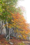 Fog in autumn beech forest. Crimea Stock Images