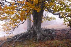 Fog in autumn beech forest. Crimea Royalty Free Stock Image