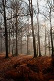 Fog autumn forest, Hoegne, Ardennes, Belgium. Fog in the morning and leafs on the ground, and beech trees in the nature reserve park of Hoegne in the Ardennes stock photo