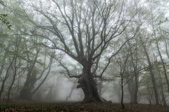Fog in beech forest stock photos