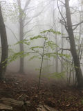 Fog in a beech forest Stock Images