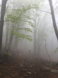 Fog in a beech forest Royalty Free Stock Photo