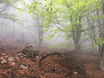 Fog in a beech forest Royalty Free Stock Image