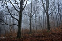 Fog in the Beech Forest in Winter Time royalty free stock image