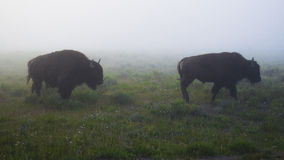 Fog and Bison in Yellowstone. Bison gather on a foggy day in Yellowstone National Park royalty free stock image