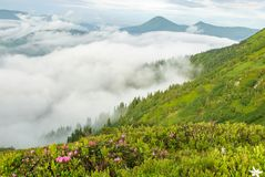 Fog and blossom of rhodonendron in mountains royalty free stock photos
