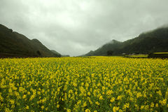 Fog and Canola field landscape Royalty Free Stock Images