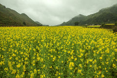 Fog and Canola field landscape Royalty Free Stock Image