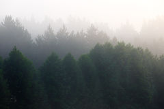 Fog in  dense coniferous forest. Royalty Free Stock Photography